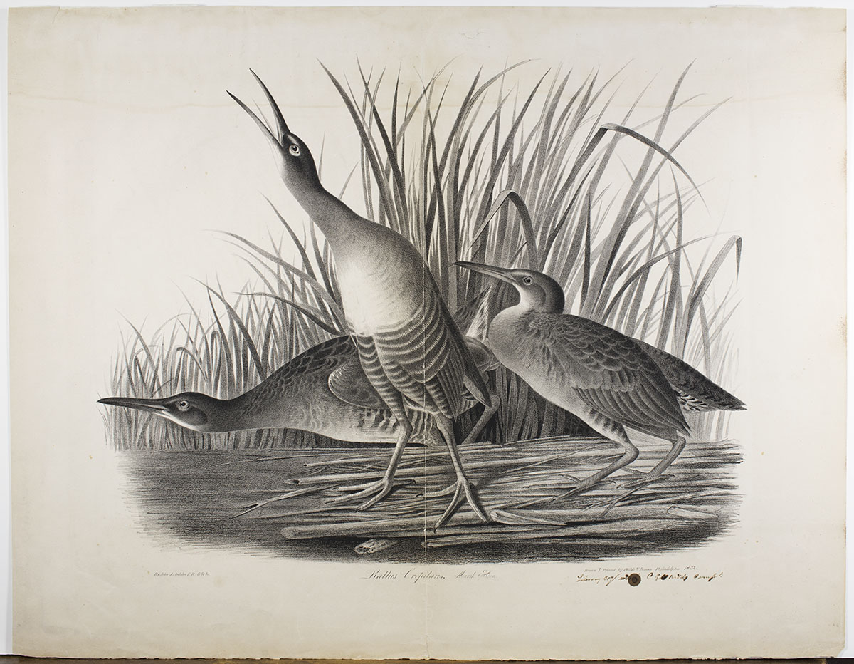Cephas Grier Childs, lithographer after John James Audubon, Rallus Crepitans. Marsh Hen (Philadelphia: Childs & Inman,1832).